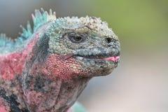 De Galapagos Marine Iguana Royalty-vrije Stock Afbeeldingen