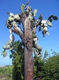 De Galapagos: oude reuze cactus-boom (de variëteitengigantea van Vijgencactusechios) royalty-vrije stock foto's