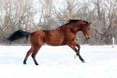 De galop van de het paardlooppas van de kastanje in de winter Stock Fotografie