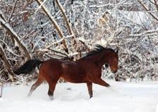 De galop van de het paardlooppas van de kastanje in de winter Royalty-vrije Stock Afbeeldingen