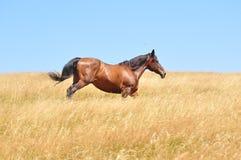 De galop van het paard Stock Afbeeldingen