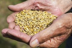 De gamla händerna av en bonde som rymmer ett handfullkorn banta sunt Jordbruk arkivfoton