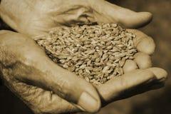 De gamla händerna av en bonde som rymmer ett handfullkorn banta sunt Jordbruk arkivfoto
