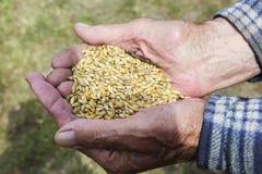 De gamla händerna av en bonde som rymmer ett handfullkorn banta sunt Jordbruk fotografering för bildbyråer