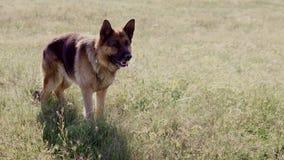 De gang die van de Duitse herderhond z opleiden stock video