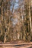 De Gang van de de Steegweg van de plattelandsweg door Eiken Autumn Forest Wit Stock Fotografie