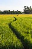 De Gang van de manier in het Landbouwbedrijf van de Rijst Stock Afbeeldingen