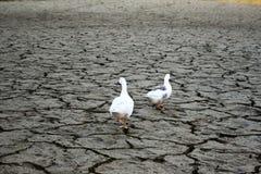 De gang van gansvogels op droogte, de grondbarsten royalty-vrije stock afbeelding