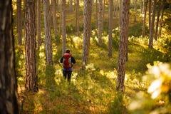 De gangen van de wandelaarmens in de pijnboom gele herfst bosbackpacker geniet van gouden dalingslandschap Stock Fotografie