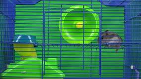 De gangen van de Dzungarianhamster in een kooi stock videobeelden