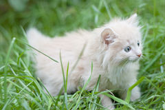 De gangen van het katje in het gras Royalty-vrije Stock Afbeelding