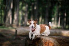 De gangen van hondjack russell terrier op aard stock foto's
