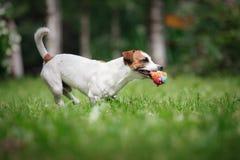 De gangen van Jack Russell Terrier van het hondras op aard Royalty-vrije Stock Afbeeldingen