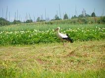 De gangen van de vogelooievaar op de aardappelgebieden stock afbeelding