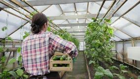 De gangen van de vrouwenlandbouwer met een houten dooshoogtepunt van komkommers stock footage