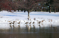 De gans die van Canada in een vijver tijdens noordoostelijk sneeuwonweer 2014 rusten Stock Afbeeldingen
