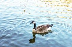 De gans die van Canada serenely in blauw water met kielzog en bezinning zwemmen stock fotografie