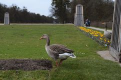 De gans op parkgebied onderzoekt de aard in München in Duitsland stock foto