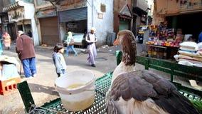 De gans overziet activiteit op straat in oud Kaïro stock videobeelden