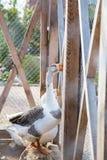De gans sloot omhoog in een kooi in het park Stock Fotografie