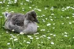 De Gans van babycanada op gras en madeliefjes Stock Afbeeldingen