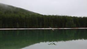 De gans van Canada komst stock videobeelden