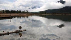 De gans van Canada op houten logboek stock video