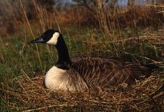 De Gans van Canada op Nest Royalty-vrije Stock Foto's
