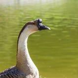 De gans van de zwaan stock fotografie