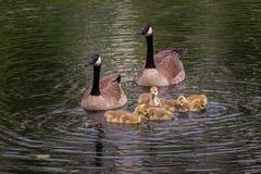 De gansfamilie (canadensis van Zwarte gans) zwemt Stock Afbeelding