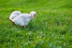 De gansjes die bij het gras op het landbouwbedrijf pikken royalty-vrije stock afbeeldingen