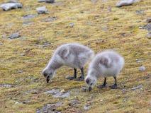 De gansjes van de eendenmosselgans - het Noordpoolgebied, Spitsbergen Stock Foto