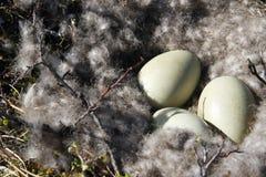 De Gansnest van Canada met drie eieren stock foto's