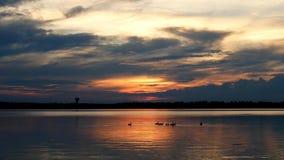 De ganzen die van Canada in meer Irving in Bemidji Minnesota zwemmen stock footage