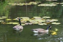 De Ganzen die van Canada op Coy Fish letten zwemmen langs Stock Foto