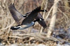 De Ganzen die van Canada over een de Winterrivier vliegen Stock Foto's