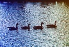 De Ganzen die van Canada samen in een Vijver zwemmen stock foto's