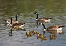 De ganzen en de gansjes van Canada Stock Foto