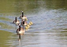 De ganzen en de gansjes van Canada Royalty-vrije Stock Afbeeldingen