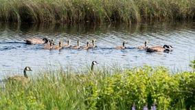 De ganzen en de gansjes van Canada Stock Foto's