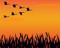 De ganzen en het moeras van het silhouet Royalty-vrije Stock Fotografie