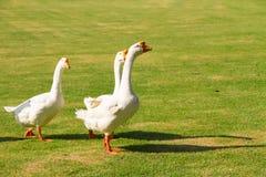 De ganzen hebben zich een beetje van een slechte reputatie zoals zijnd lar Stock Fotografie