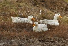De ganzen liggen nave E outdoors Witte ganzen vogels royalty-vrije stock afbeeldingen