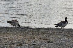 De ganzen van Canada het lopen Stock Foto's