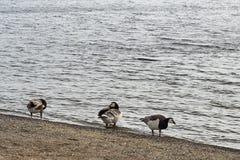 De ganzen van Canada het lopen Stock Foto