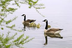 De ganzen van Canada met gansjes Royalty-vrije Stock Afbeelding