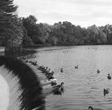 De Ganzen van Canada op de Charles-rivier stock afbeeldingen