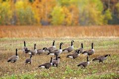 De ganzen van Canada op een gebied Stock Afbeeldingen