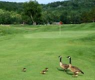 De Ganzen van Canada op een golfcursus Stock Foto