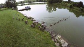 De ganzen van Canada op een meer stock footage